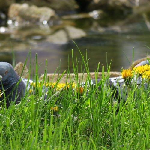 Na promenádu okolo potůčku vpřírodní zahradě vyrazil ipárek zdejších holubů.