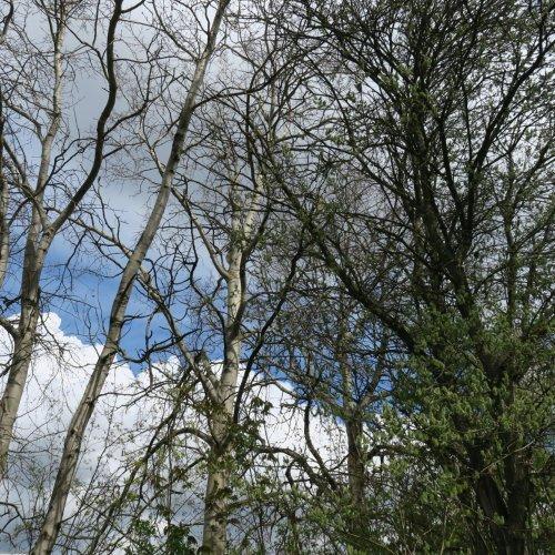 Zatímco topoly stále postávaly sholými korunami, keř vrby jívy pod nimi již pracoval na dozrávání semen ve svých podlouhlých tobolkách.