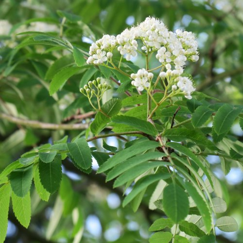 Jen omálo skromnější byly chocholíky bílých květů jeřábu.