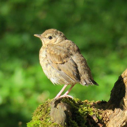 Malý drozd zpěvný, který nedávno opustil hnízdo, nám pózoval na pařezu jako zkušený manekýn …