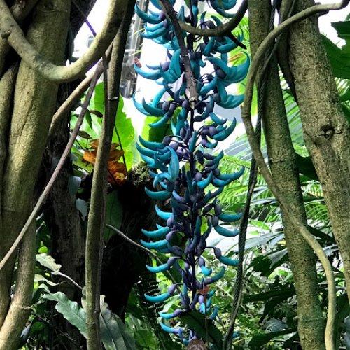 Smaragdová liána - Strongylodon macrobotrys (foto Tomáš Král)