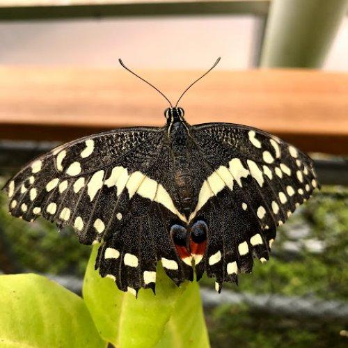 Otakárek citrusový Papilio demoleus (foto Tomáš Král)