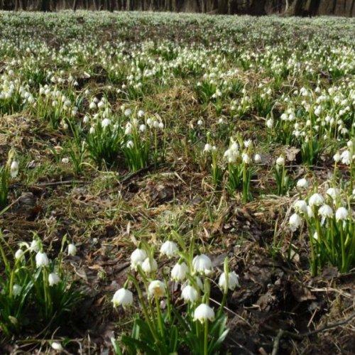 Závěr exkurze patřil přírodní rezervaci Hroznětínská louka. Přijeli jsme právě včas, abychom mohli obdivovat nádheru nivní louky obklopené načervenalými olšemi, zaplavenou něžnými bílými květy milionů bledulí jarních.
